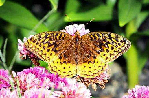 Butterfly, Great Spangled Fritillary, Fritillary
