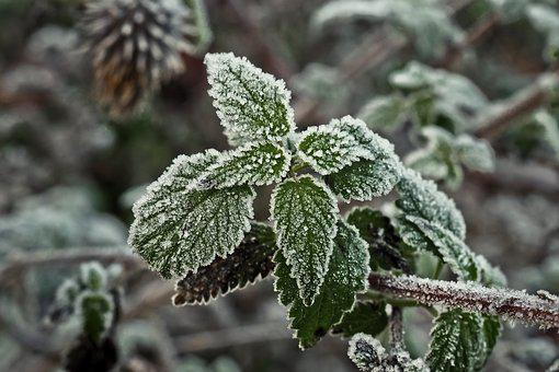 Stinging Nettle, Frost, Hoarfrost, Ice, Winter, Plant