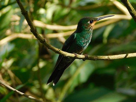 Hummingbird, Nature, Bird, Ave, Little Bird