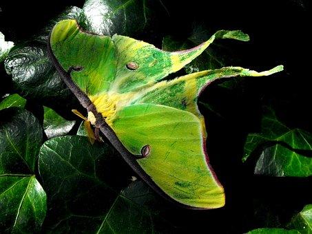 Luna, Moth, Summer, Night, Insect, Flying, Green