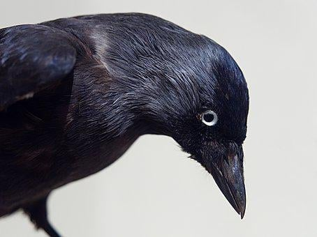 Crow, Bird, Black, Stuffed, Taxidermy, Museum, Exhibit