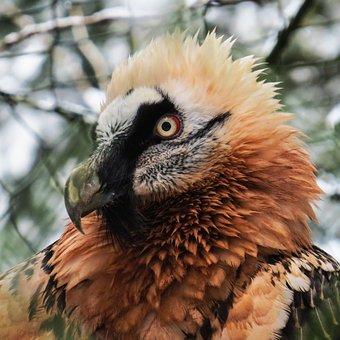 Harpie, Bird, Raptor, Bird Of Prey, Bill, Eyes