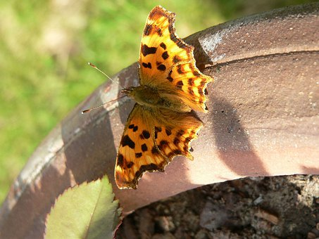 Butterfly, Insect, Painted Lady, Spots