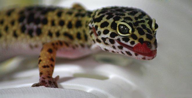 Gecko, Lizard, Leoperdgecko, Nature, Creature, Reptile