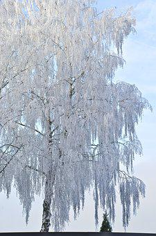 Birch, Tree, Winter, Ice, Iced, Cold, Frost, White