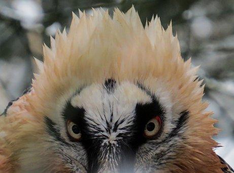 Harpie, Raptor, Bird Of Prey, Bird, Bill, Eyes