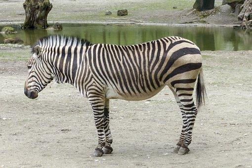 Hartmann Mountain Zebra, Zebra, Southwest Africa