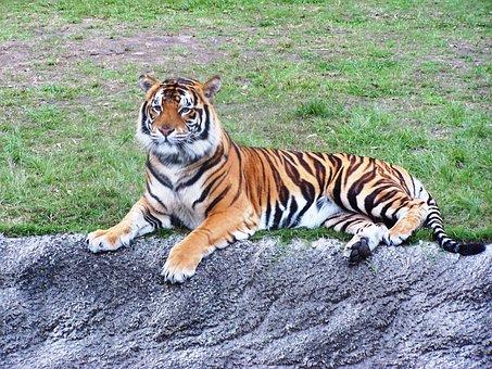 Tiger, Dreamworld, Stripes