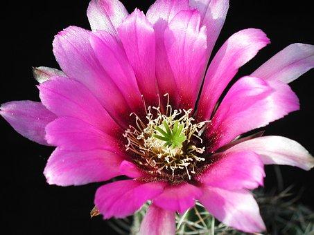 Cactus Blossom, Cactus, Flower, Nature, Flora