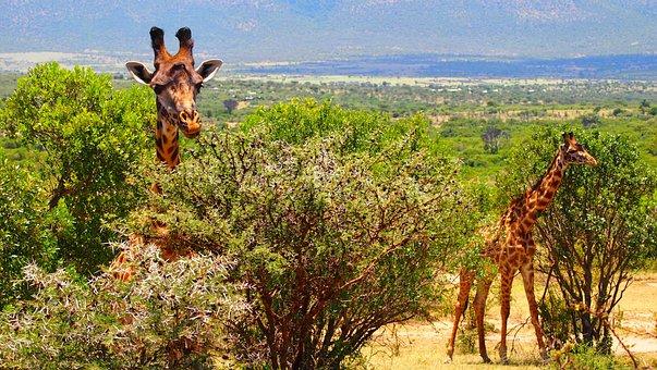 Giraffe, Kenya, Africa, Wild, Nature, Safari, Wildlife