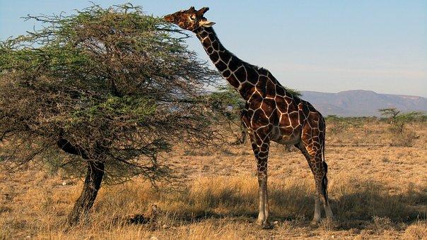 Giraffe, Kenya, Safari, Samburu National Park, Mammal