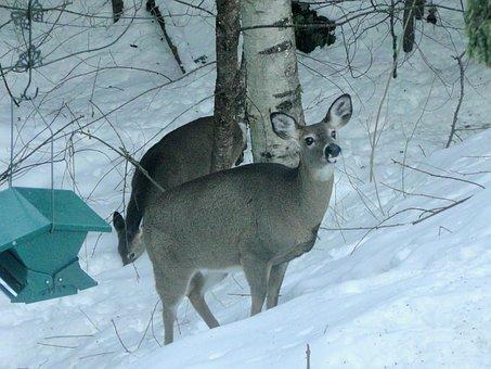 Deer, Animal, Wild, Winter, Snow, Wildlife, Nature, Doe