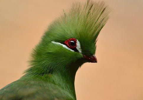 Guinea Turaco, Bird, Green Crested, Exotic, Wildlife