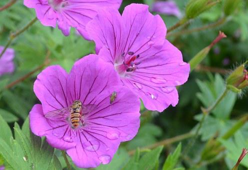 Syrphid Fly, Insect, Flower, Lilac, Nature, Wildlife