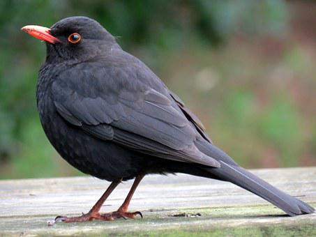 Blackbird, Bird, Black, Avian, Nature, Wildlife, Animal