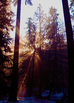Forest, Light, Critter, Pine, Nature