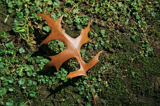 Leaf, Oak, Brown, Ground, Autumn, Nature, Environment