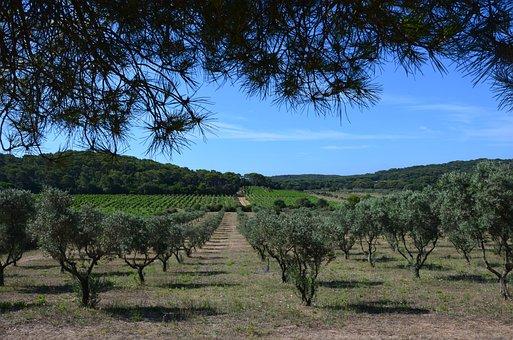 Olive, Summer, Olive Tree, Heat, Porquerolles