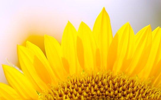Sunshine, Flowers, Sunflower, Fresh