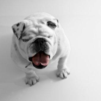 Bulldog, Pet, Dog, Animal, Water, Canine, Domestic