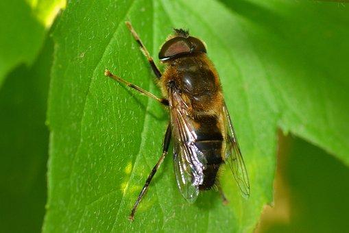 Zengőlégyfélék, Zengőlegyek, Syrphidae, Wasp, Bug