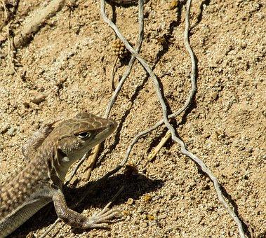 Acanthodactylus Schreiberi, Lizard, Animal, Curious