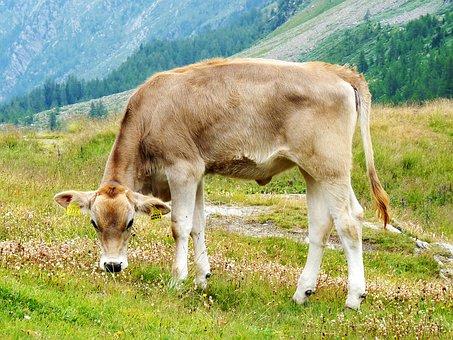 Calf, Mountain Meadow, Dolomites