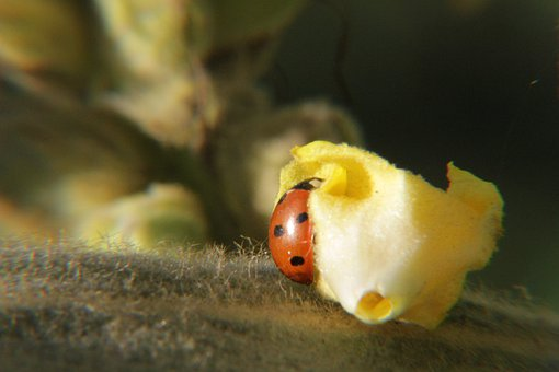 Ladybug, Lucky Charm, Aphids, Scale Insects