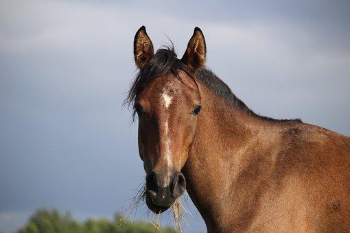 Horse, Brown Mold, Thoroughbred Arabian, Sky, Wind