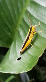 Grasshopper, Insects, Nature, Jungle, Yellow, Black