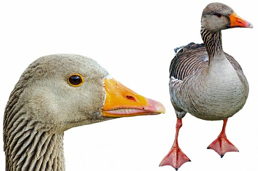 Greylag, Isolated, Pets, Neck, Agriculture, White