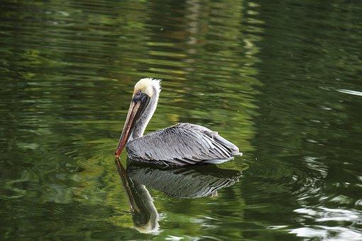 Pelican, Bird, Pond, Water, Nature, Animal, Beak
