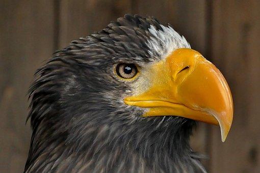 Eagle, Bird, Symbol, Animal, Wildlife, Icon, Feather