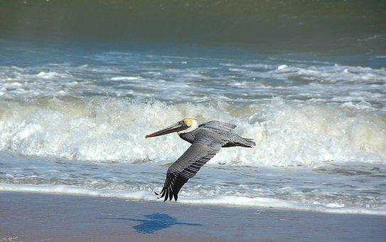 Pelican, Wildlife, Wild, Animal, Nature, Flying, Surf