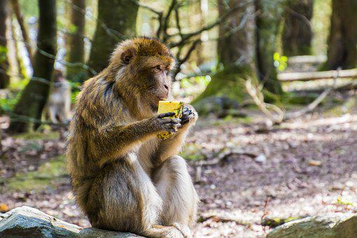 Monkey, Eat, Barbary Ape, Pineapple, Eating, Animal