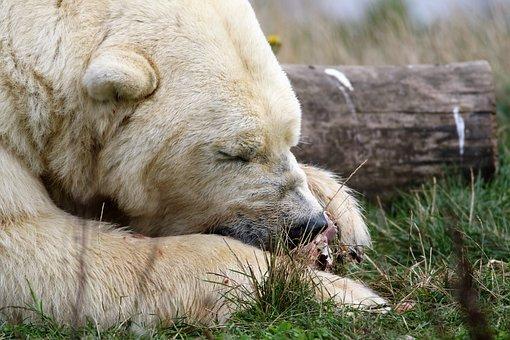 Polar Bear, White, Bear, Polar, Mammal, Animal