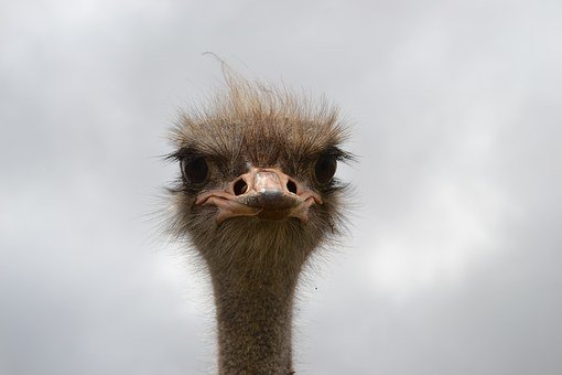 Ostrich, Face, South Africa, Big Eyes, Hairy, Emu