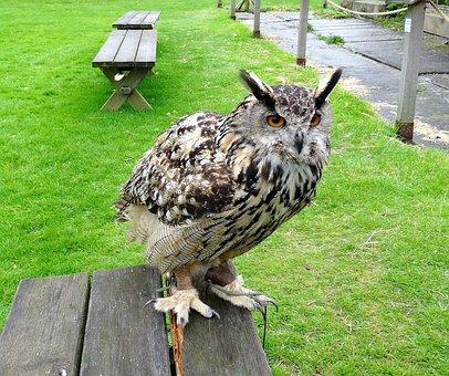 Eagle Owl, Eurasian, Owl, Bird, Wildlife, Prey, Animal