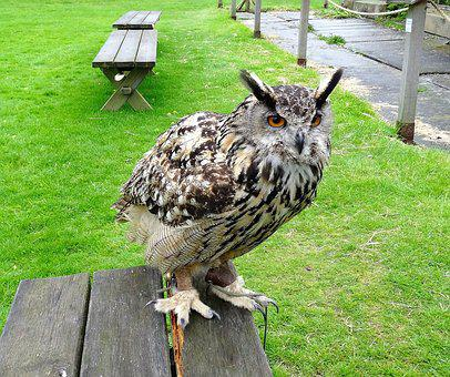 Eagle Owl, Eurasian, Owl, Bird, Wildlife, Prey, Animal