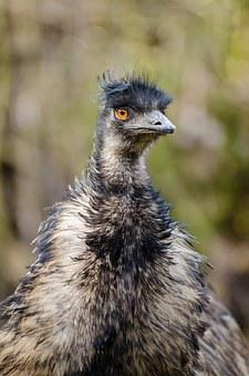 Emu, Bird, Emu Australia, Dromaiidae, Big Size, Funny
