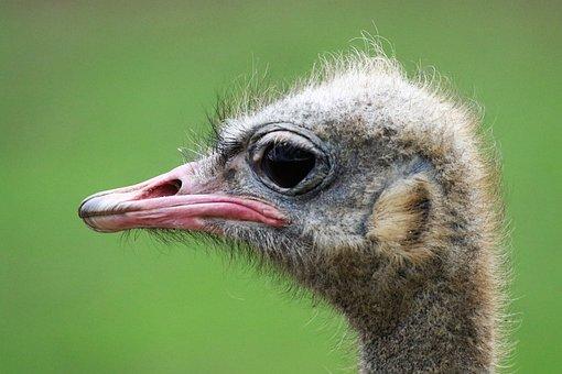 Ostrich, Ostrich Head, Bird, Funny, Face, Animal, Head