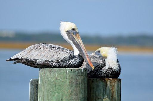 Pelicans, Bird, Avian, Resting, Piling, River