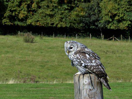 Owl, Wildlife, Eagle, Animal, Bird, Wild, Prey