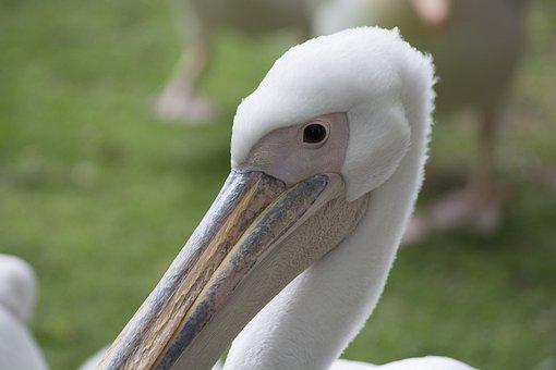 Pelican, Bird, Nature, Water, Wildlife, Animal, White