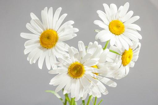 Chamomile, Flowers, Bloom, White Daisies, Yellow Center