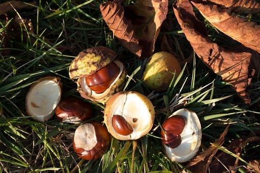 Chestnut, Buckeye, Aesculus, Fruit, Globose