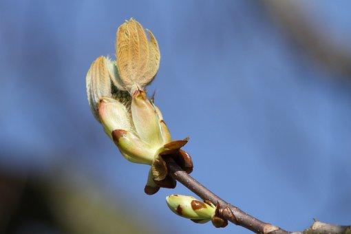 Chestnut Tree, Chestnut, Bud, Ornamental Tree, Bloom