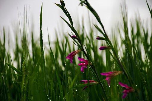 Wheat, Campaign, Spring, Wild Gladioli