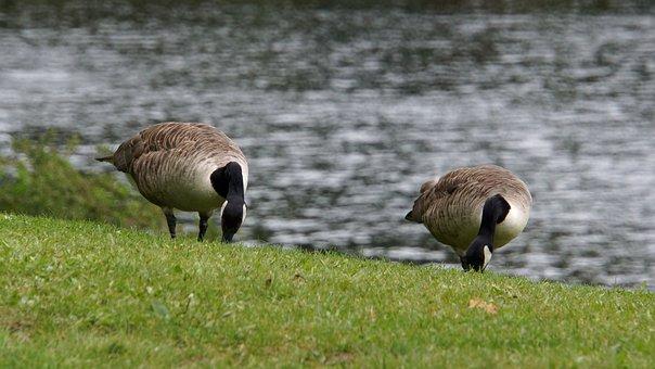 Canada Goose, Branta Canadensis, Goose, Big Bird