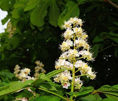 Chestnut Blossom, Common Buckeye, Inflorescence